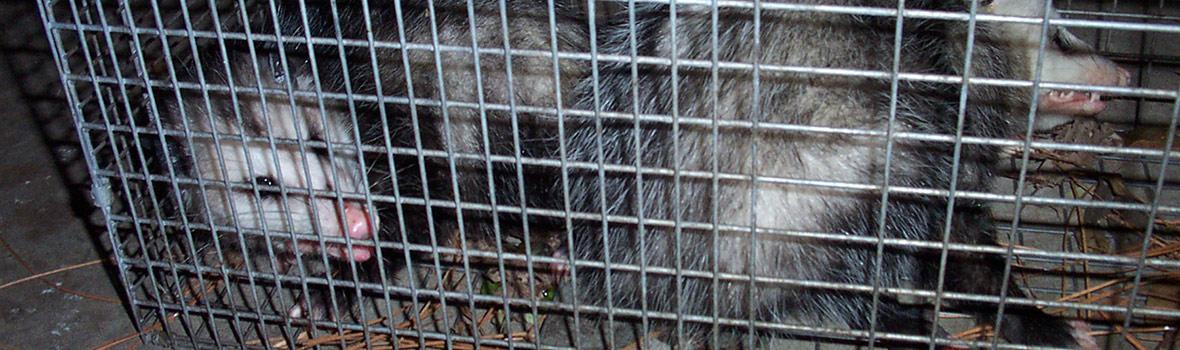 Do Possums dig holes or burrow?